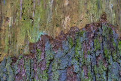 Multi-colored bark of the tree Stock Photos