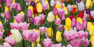 Multi-colored beautiful tulips blooming in the park. Multi-colored beautiful tulips form a bright carpet in a flower bed or in a field Stock Photos