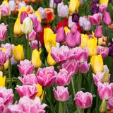 Multi-colored beautiful tulips blooming in the park. Or in the garden Royalty Free Stock Photo