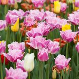 Colorful bright tulips blooming in the park or in the garden. Multi-colored beautiful tulips form a bright carpet in a flower bed or in a field stock photos