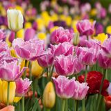 Colorful bright tulips oming in the summer park or in the garden. Multi-colored beautiful tulips form a bright carpet in a flower bed or in a field stock image