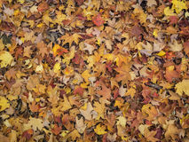 Multi-Colored Bed of Autumn Leaves Stock Images