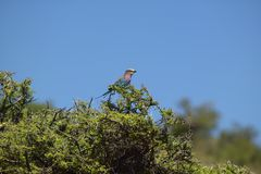 Multi-colored bird singing on tree in Kenya, Africa on the Lewa Conservancy Stock Photo