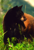 Multi Colored Black Bear Royalty Free Stock Images