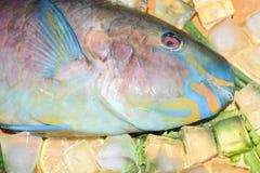 Multi-colored blauwe tropische helder van de ruwe vissenpapegaai op houten B Royalty-vrije Stock Afbeelding