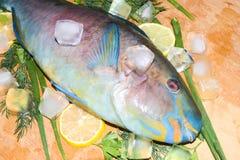 Multi-colored blauwe tropische helder van de ruwe vissenpapegaai op houten B Royalty-vrije Stock Foto
