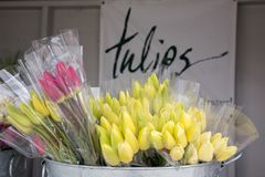 Multi-colored bouquets of fresh spring tulips in a metal tub. Metal tub full of plastic wrapped bouquets of pink and yellow spring tulips.  in the background is Stock Images