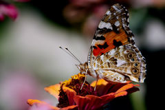 Multi colored butterfly Royalty Free Stock Photography