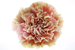 Multi-colored carnation Stock Image