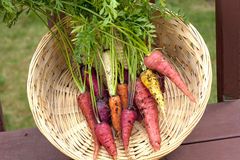 Multi colored carrots. Stock Photo