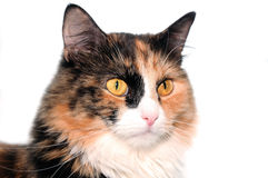 Multi-colored cat Royalty Free Stock Photos
