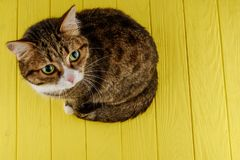 Cute, cat, multi-colored on a colored yellow background. multi-colored cat with beautiful eyes. Copy space. royalty free stock photography