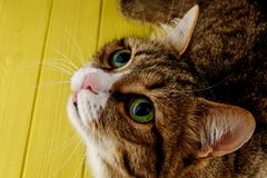 Cute, cat, multi-colored on a colored yellow background. multi-colored cat with beautiful eyes. Copy space. stock image