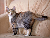 The multi-colored cat costs on a sofa. Stock Images