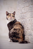 Multi-colored cat near a brick wall. Stock Photography