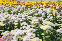 Multi-colored chrysanthemums Royalty Free Stock Photography