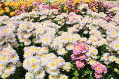 Multi-colored chrysanthemums Royalty Free Stock Images