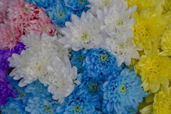 Multi-colored chrysanthemums. Motley rainbow bouquet. Blue, yellow, white, pink flowers. Flower background stock photo