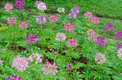 Multi-colored cleome (spider flower) in garden Stock Photos