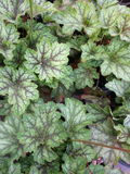 Multi colored coral bells leaves Stock Images