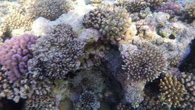 Multi-colored corals on the reef in transparent water. Red sea stock footage