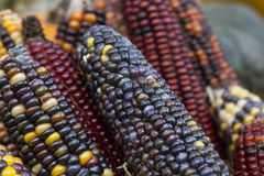 Multi colored  corn on the autumn market Royalty Free Stock Photos