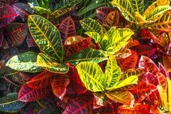 Multi Colored Croton Nevia Plant royalty free stock image