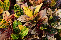 Multi colored Croton plants Stock Photography