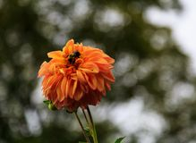 Dahlias fresh from garden in out door farm setting in Pennsylvania Royalty Free Stock Image