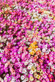 Flower bed of sunlit livingstone daisies Stock Photo