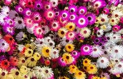 Flower bed of sunlit livingstone daisies Stock Photos