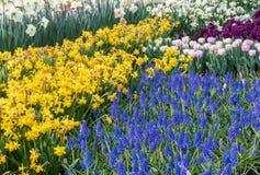 Multi-colored de lentebloemen in bloei stock foto