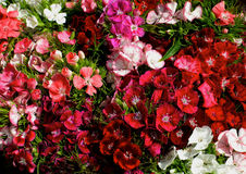 Multi Colored Dianthus Background Stock Images