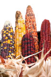 Multi-colored ears of dried corn Stock Photos