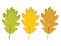 Multi-colored eiken blad drie Royalty-vrije Stock Afbeeldingen