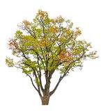 Multi colored fall isolated tree Royalty Free Stock Image