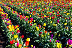 Multi Colored Field of Tulips Stock Image