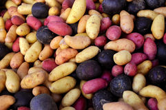 Multi-colored fingerling potatoes at an outdoor farmers' market. Stock Image