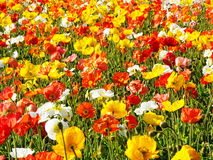 Multi colored flower bed Royalty Free Stock Image