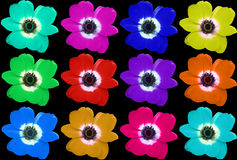 Multi-colored Flower Collage. Collage of multi-colored anemone flowers against a black background royalty free stock photos