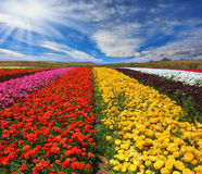 The multi-colored flower fields Royalty Free Stock Photos