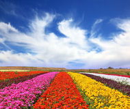 The multi-colored flower fields Royalty Free Stock Photography