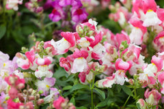 Multi-colored flowers of Antirrhinums Stock Photography