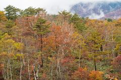 Multi-colored forest trees during autumn season around Mt. Shiga area. Royalty Free Stock Photography
