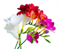 Multi-colored freesias Stock Image