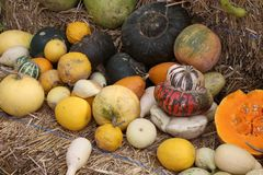 Multi colored fresh pumpkin harvest. Royalty Free Stock Photo