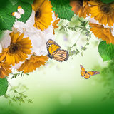 Multi-colored gerbera daisies and butterfly Royalty Free Stock Photography