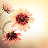 Multi-colored gerbera Royalty Free Stock Photography