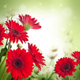 Multi-colored gerbera daisies Stock Photos