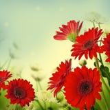 Multi-colored gerbera daisies Stock Image